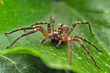 wolf spider on leaf - 37150521