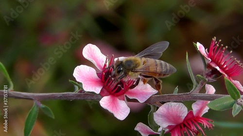 Macro of  Bee on New Zealand Tea Plant
