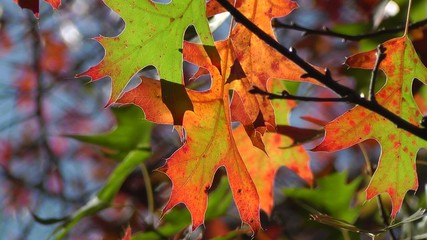 Multi-colored backlit Fall or Autumn leaves