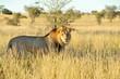 Постер, плакат: Lion du Kalahari