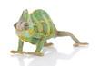 Beautiful big chameleon sitting on a white background