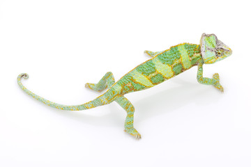 Chameleon on a white
