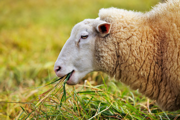sheep feeding on long grass