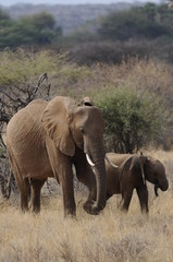 A mother elephant  walks with her calf in Masai Mara