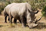 White Rhinoceros on Masai Mara in Southwestern Kenya poster