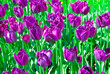 The purple tulips