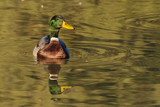 Mallard drake swimming in golden reflections - front view poster