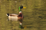 Mallard drake swimming in golden reflections - side view poster