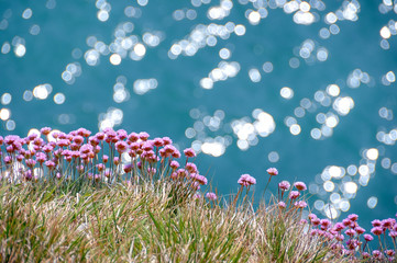 Sea pinks - thrift - against a sparkling sea