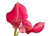 Red Flower Calla