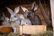 Young rabbits popping out of a hutch