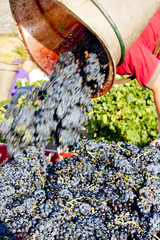 wine harvest in Fitou appellation, Languedoc-Roussillon, France