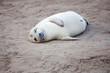 Newly Born Grey Seal Pup At Donna Nook