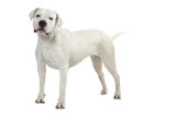 beautiful white dog - dogo argentino