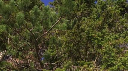 autunno larici abeti bosco