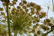 Riesenbärenklau (Heracleum mantegazzianum) Blüte von unten