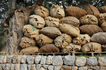 sacks with harvest under olive tree