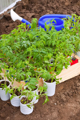 tomato seedling in  hothouse