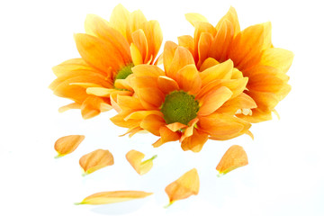 orange flowers Chrysanthemum