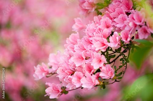 Fotobehang Azalea Branch of a pink azalea bush