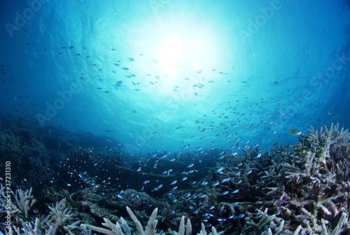 Fotobehang Koraalriffen 静寂の海底に群生するサンゴの中を舞うデバスズメダイ