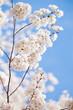 Cherry blossom branch in Washington DC