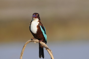 White throated kingfisher (Halcyon smyrnensis)