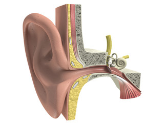 Three dimensional human ear anatomy