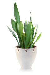 House plant on white background - Sansevieria