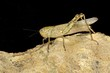 A locust resting on a sandstone rock, Western Australia.