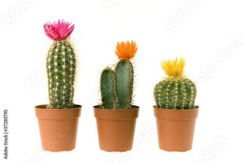 Canvas Cactus cactus en fleur