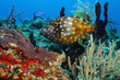 White-spotted Filefish (Cantherhines macrocerus) - Cozumel