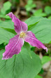large-flowered trillium turns purple