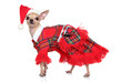 Toy terrier in fashion Santa Costume