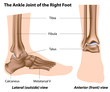 The ankle joint, eps8