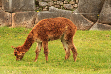 Alpaca and Inca's walls