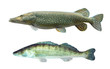 Pike (Esox Lucius) and Pikeperch (Sander Lucioperca).
