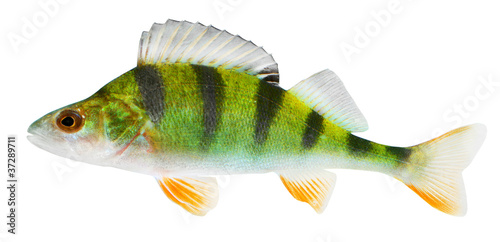 The European Perch (Perca fluviatilis)
