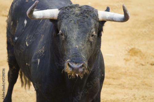 Fotobehang Stierenvechten Head bull, Fighting bull picture from Spain. Black bull