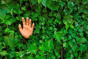 Mano aperta in un muro ricoperto di edera