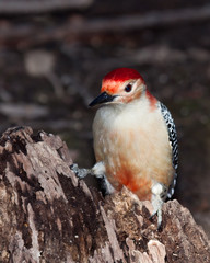 red-bellied woodpecker posed on a tree stump