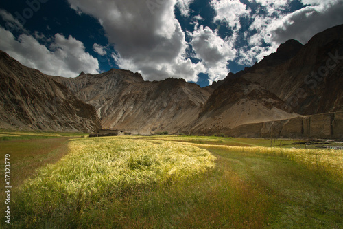 Wheat filed landscape located in Marhka Valley, Leh