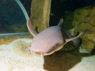 Nurse shark (Ginglymostoma cirratum)