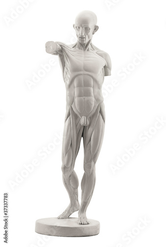 anatomy, muscles isolated on white