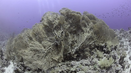 Colony of Giant sea fans