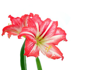 Beautiful hippeastrum hortorum