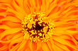 Extreme close up shot of Zinnia flower