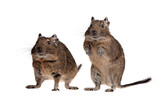 two rodent pets poster
