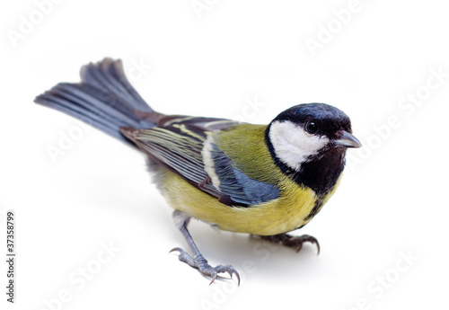 Titmouse on a white background close up