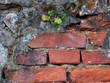 Mauerwerkspflanze